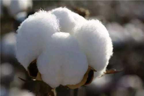 棉花的产地_新疆棉和内地棉有什么不一样