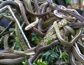 周公解梦孕妇梦见蛇 孕妇梦见大蟒蛇