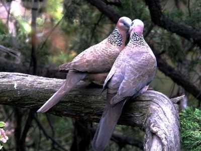 斑鸠吃什么 斑鸠饲料