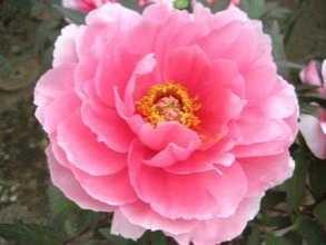 只是很多人不知道 什么花的花瓣可以食用