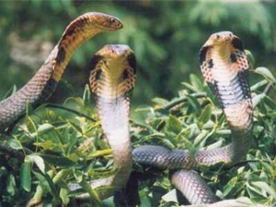 小心毒蛇 300条眼镜蛇出逃