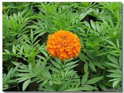 万寿菊的品种及资料 万寿菊的资料