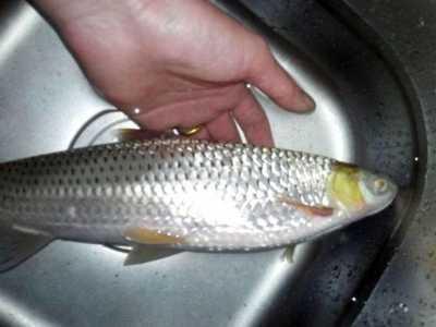 总被人误以为是草鱼和鲤鱼的混种 草鱼和鲤鱼的区别