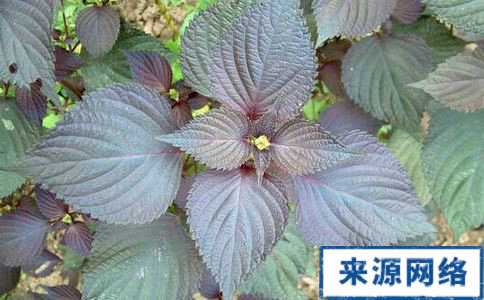 紫苏叶泡水喝的禁忌 紫苏叶的功效