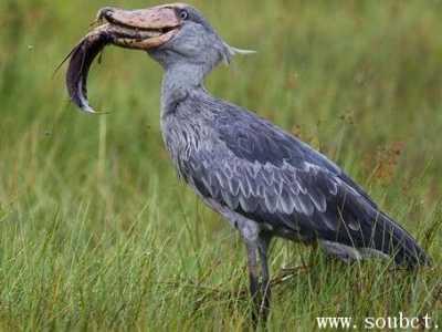 世界最大的头 世界上头最大的鸟